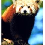 Panda-červená